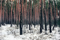 Northern pines Royalty Free Stock Photos