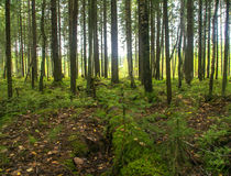 Northern pinewood in summer Stock Photography