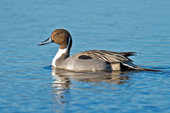 Northern Pintail. Floating in the water Stock Image