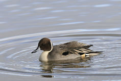 Northern Pintail - Anas Acuta Royalty Free Stock Photography
