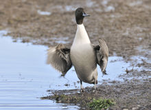 Northern Pintail - Anas Acuta Stock Photos