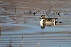 Northern Pintail, Anas acuta Royalty Free Stock Photos