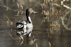 Northern Pintail, Anas acuta Stock Photography