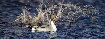 Northern Pintail, Anas acuta Stock Image