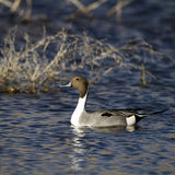 Northern Pintail, Anas acuta Stock Photos