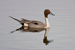 Northern Pintail (Anas acuta) Royalty Free Stock Photography