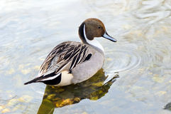 Northern pintail (Anas acuta). Male of northern pintail (Anas acuta) in its habitat Stock Image