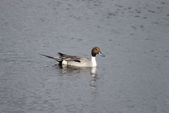 Northern pintail (Anas acuta). Swimming in a salt marsh, Cape Canaveral, FL Royalty Free Stock Photos