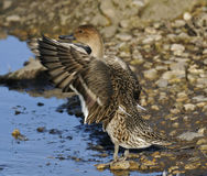 Northern Pintail Royalty Free Stock Photo