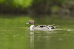 Northern Pintail Royalty Free Stock Images