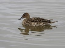Northern pintail, Anas acuta Royalty Free Stock Images