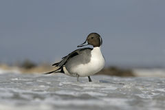 Northern pintail, Anas acuta Royalty Free Stock Photo