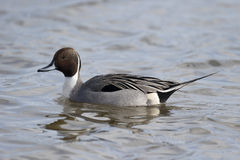 Northern pintail, Anas acuta, Royalty Free Stock Photography