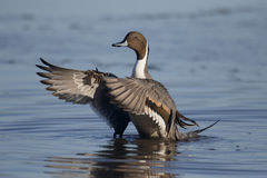 Northern pintail, Anas acuta. Single male wing stretching, Gloucestershire, January 2015 Royalty Free Stock Image