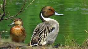 Northern Pintail royalty free stock photos