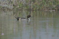 Male Northern Pintail Anas acuta In Lake. stock photos