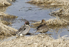 Northern Pintail couple. Royalty Free Stock Images