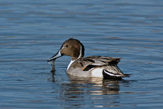 Northern Pintail Drake Stock Images