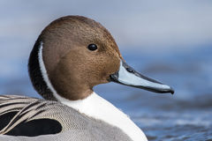 Northern Pintail Drake, Anas Acuta Royalty Free Stock Images