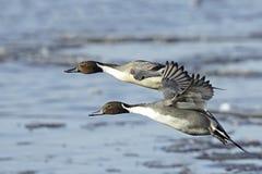 Northern Pintail Drakes(Anas Acuta) In Flight Royalty Free Stock Photo