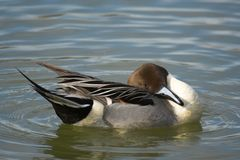 Northern Pintail duck. Stretching Royalty Free Stock Photography