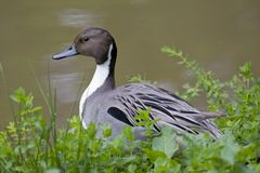 Free Northern Pintail Duck Stock Photo - 7249010