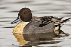 Northern Pintail duck - Anas acuta Royalty Free Stock Photos