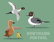 Northern Pintail Duck Cartoon Vector Illustration Royalty Free Stock Photography