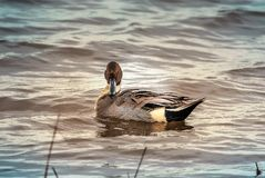 Northern Pintail Duck looking right at you stock images