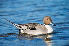 Northern Pintail Duck, Male Stock Images