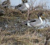 Northern Pintail Duck Stock Photos