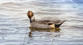 Northern Pintail Duck relaxing royalty free stock photography