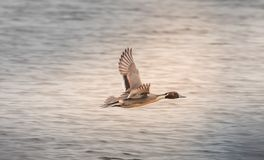Northern Pintail Duck flying high royalty free stock image