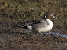 Northern Pintail duck in a wetland. A drake Pintail feeding in a wetland in New Mexico Stock Image