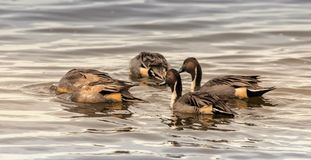 Northern Pintail Ducks bobbing for food stock images