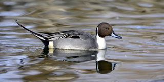 Northern Pintail Stock Photography
