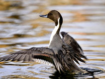 Northern Pintail Stock Photo