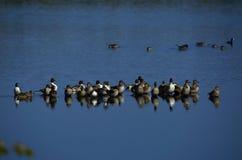 Northern Pintail Ducks Stock Image