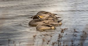 Northern Pintail Ducks under water stock image