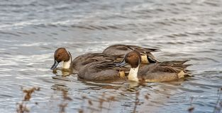 Northern Pintail Ducks under water stock images