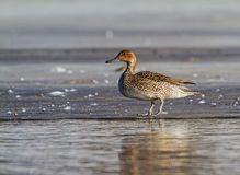Northern Pintail female on the ice Royalty Free Stock Photo