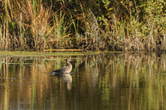 Northern Pintail female on the lake Royalty Free Stock Images