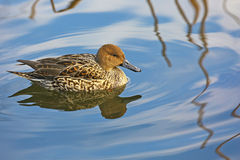Northern Pintail female in a pond of Tokyo Royalty Free Stock Photography