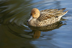 Northern Pintail female in Ueno Park of Tokyo Stock Photos
