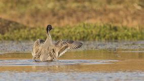 Northern Pintail Flapping Wings. Northern pintail, Anas acuta, is flapping wings on pond in Dinsho wetlands, Bale Mountain, Ethiopia, Africa stock photography