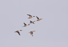 Northern Pintail flying over Stock Image