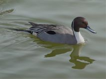 Northern pintail from George Reifel Bird Sanctuary stock photos