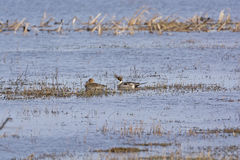 Northern Pintail male and female in a wetland pond Royalty Free Stock Photography