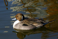 Northern Pintail male in a pond of Tokyo Royalty Free Stock Photo