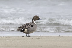 Northern Pintail male who stands on the shore of the ocean on a Royalty Free Stock Images